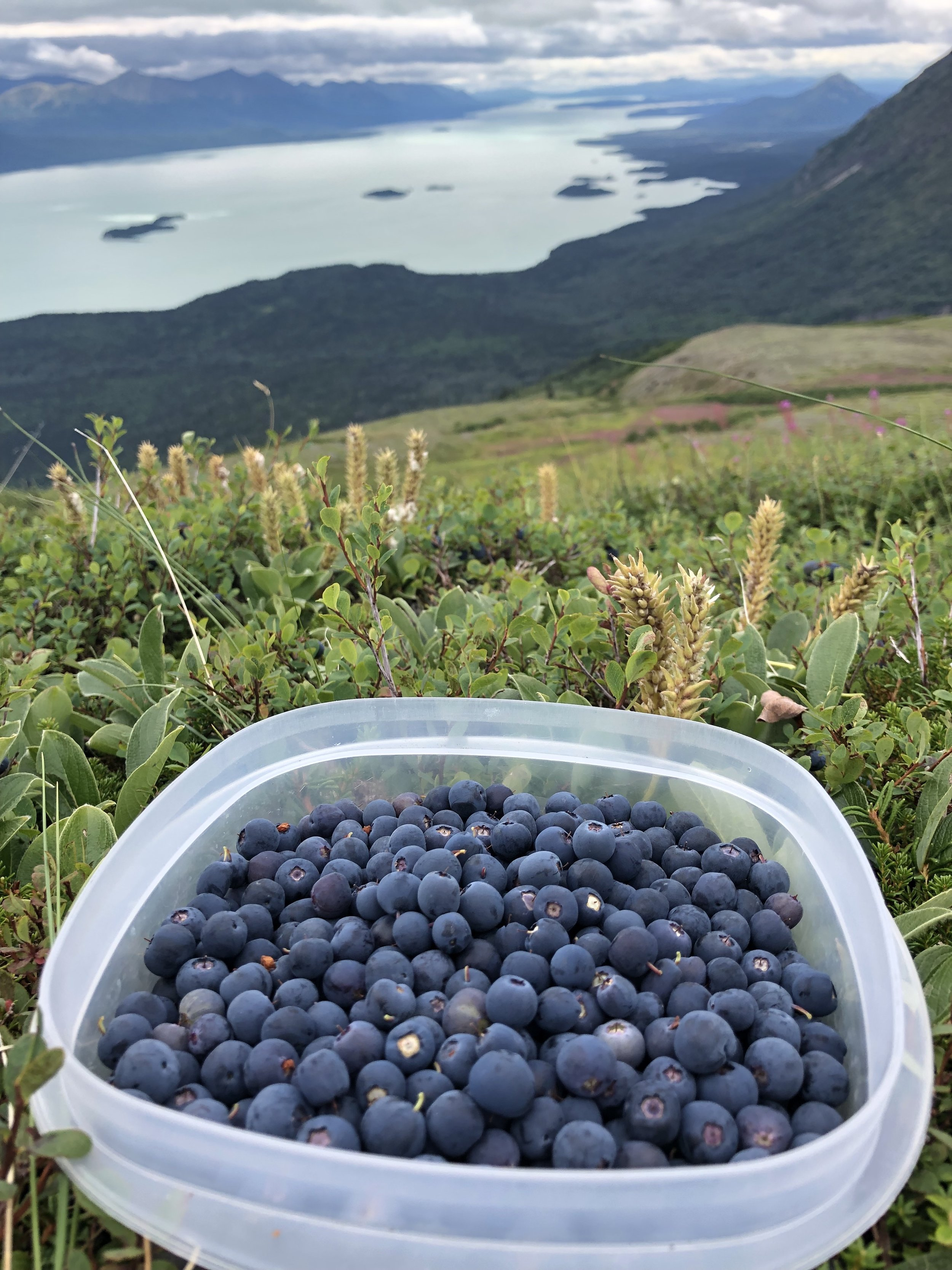Blueberry picking above Lake Clark
