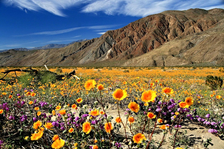 Anza Borrego Wildflowers Best Time 2020 Anza Borrego Desert Botany Society