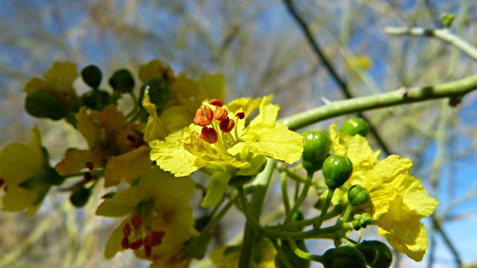 Parkinsonia (Cercidium) florida  Photo:FRED MELGART with permission