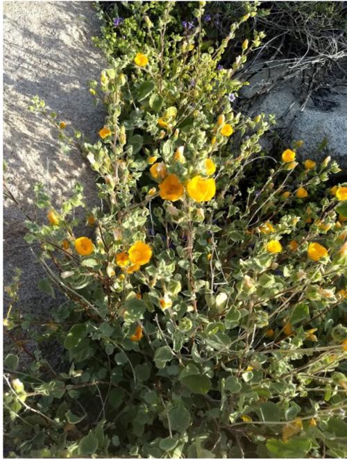 Anza Borrego Desert Botany Society