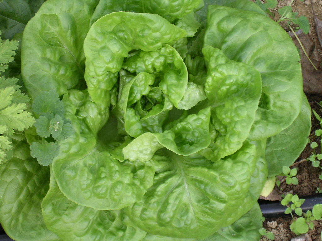 White Boston Lettuce