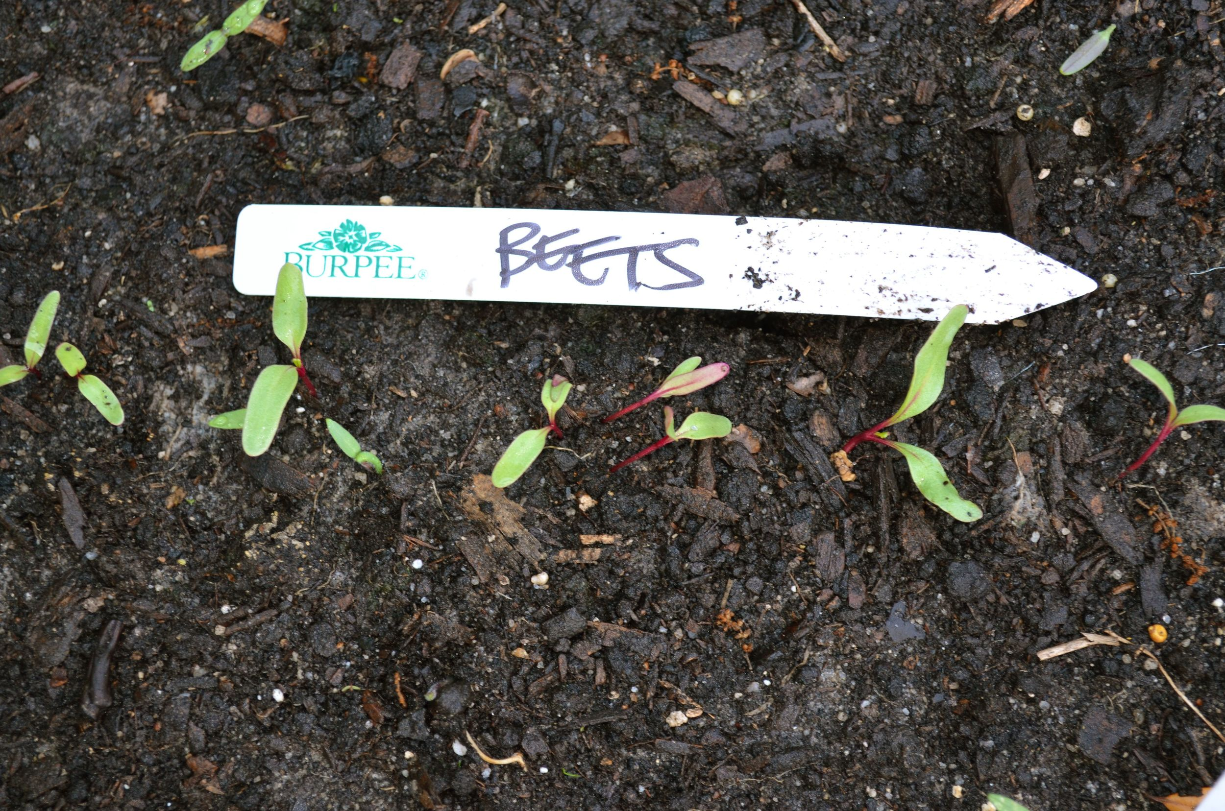 Beet sprouts from seed tape