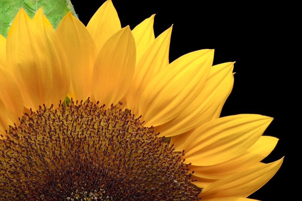 SunFlower-Macro.jpg