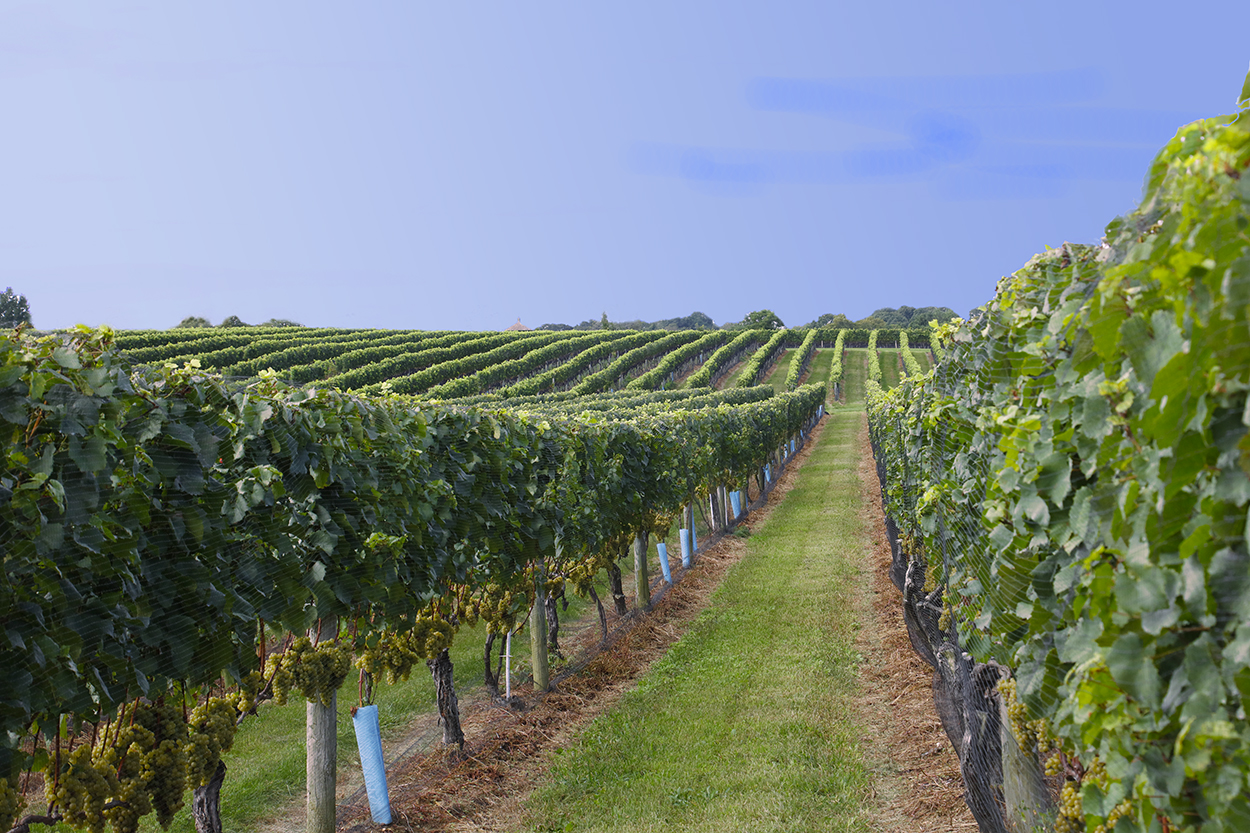 Grape Vines Winery A.jpg