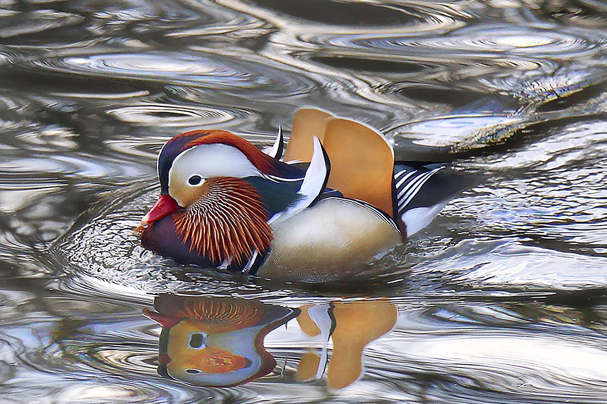 CP Duck-A-XXX.jpg