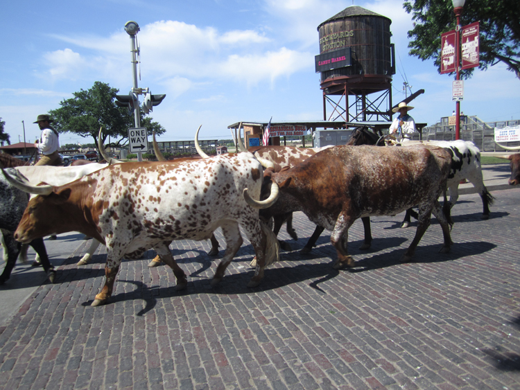 Fort Worth Texas Cattle drive