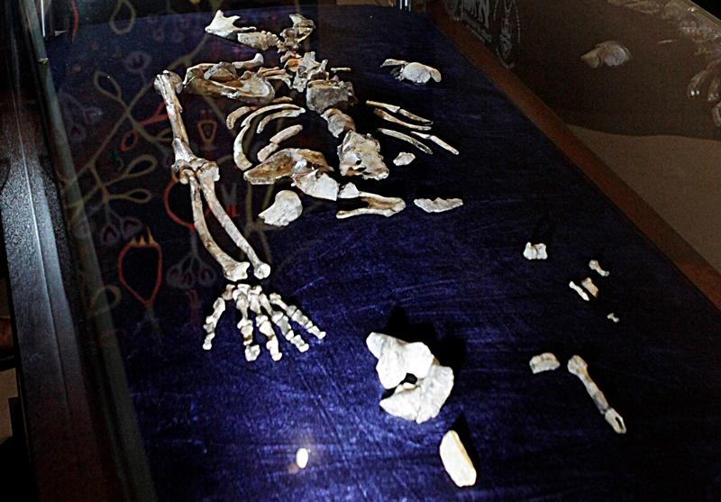 Uno de los juegos de huesos del  Australopithecus sediba  en Sudáfrica que supuestamente tiene dos millones de años de edad. Associated Press © 2012
