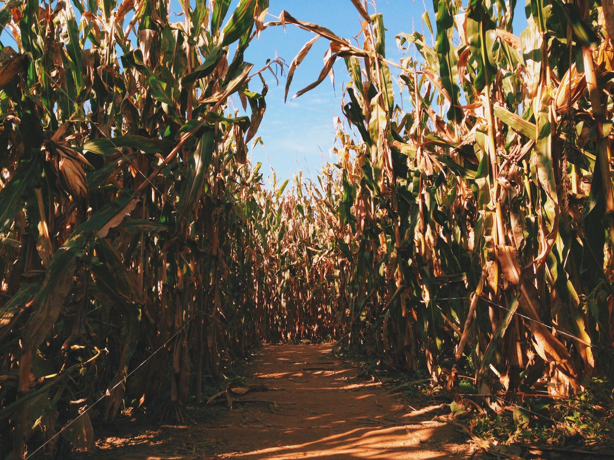 corn maze fall 13.JPG