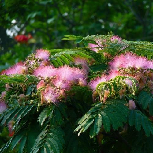 Albizia Julibrissin - Mimosa Bark + Flower