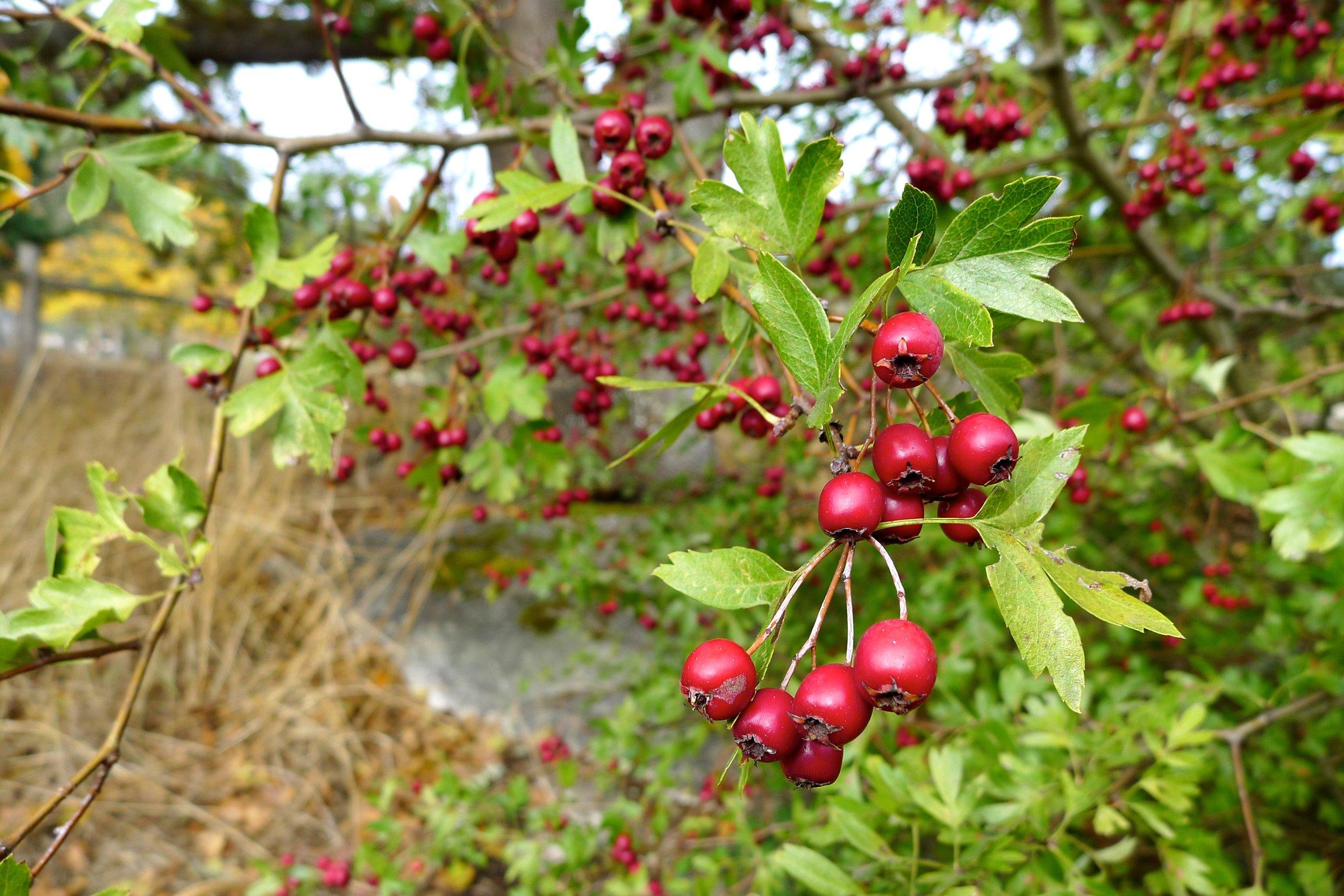 Crataegus spp. - Hawthorn Berry