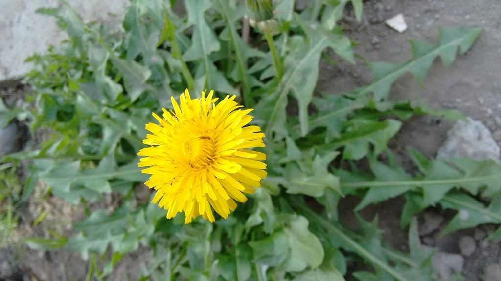 Taraxacum Officinale - Dandelion Leaf + Root