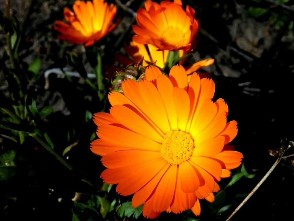 Calendula Officinalis - Calendula, or Pot Marigold
