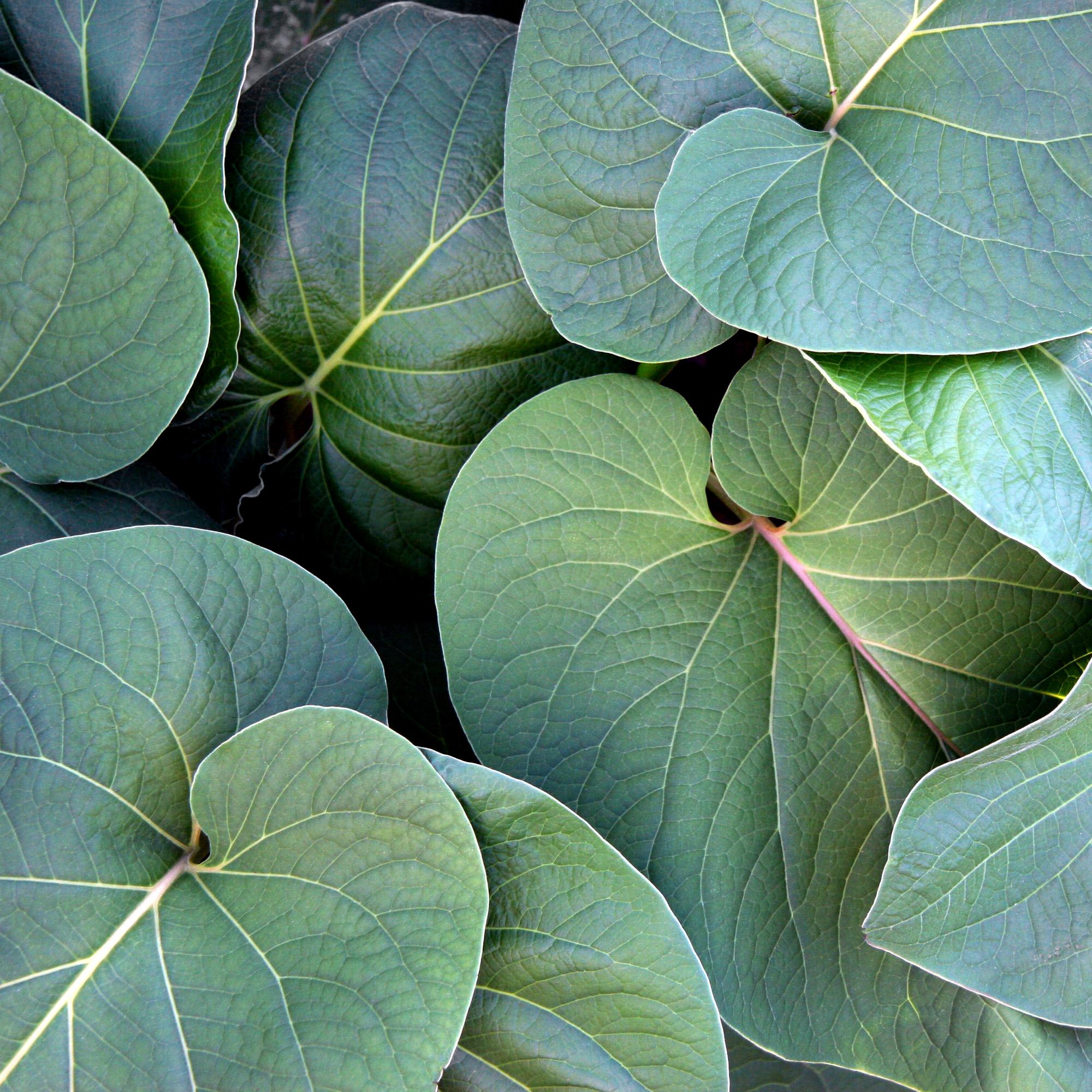 Big Leaves