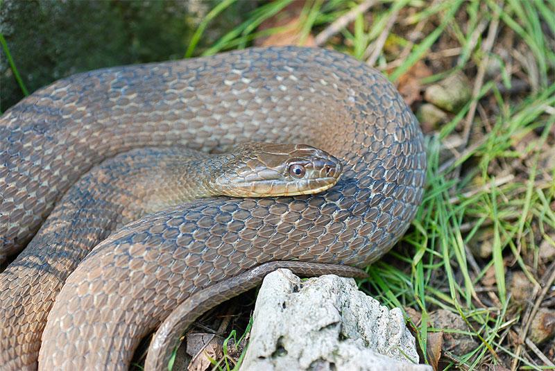 Lake Erie Water Snake;USFWS