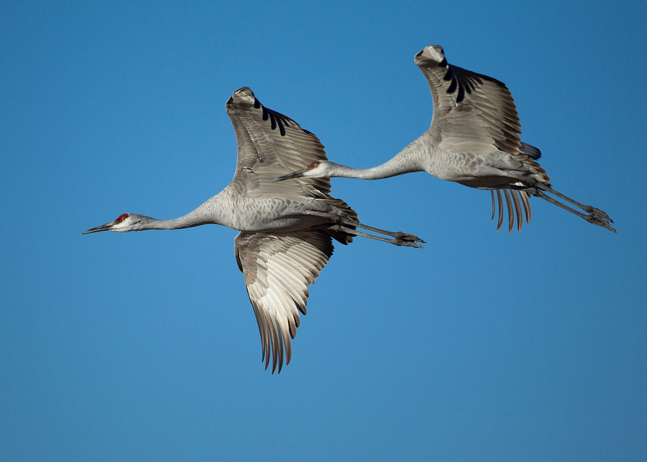 1280px-Grus_canadensis_-Bosque_del_Apache_National_Wildlife_Refuge,_New_Mexico,_USA_-flying-8a_(1).jpg