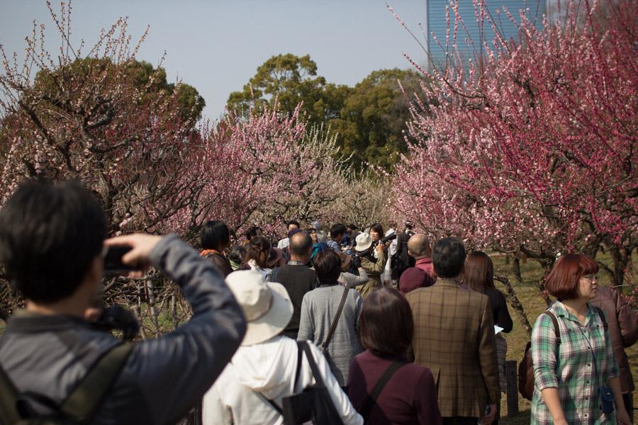 plum_blossom_crowd_osaka_japan