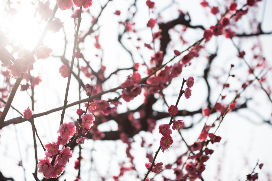 ume_flowers_osaka_japan