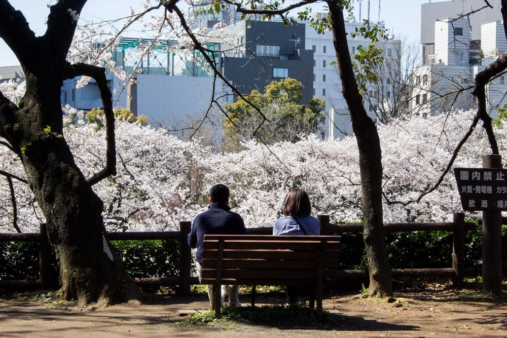 Kitanomaru_Park_cherry_blossoms