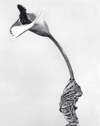 Joan Fontcuberta,  Cala rasca , part of the  Herbarium series, 1983