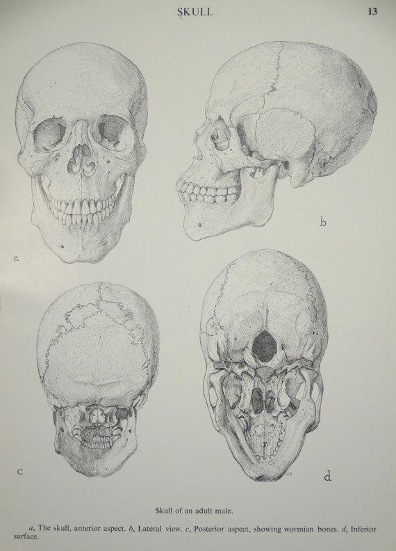 Skull Anatomy Poster
