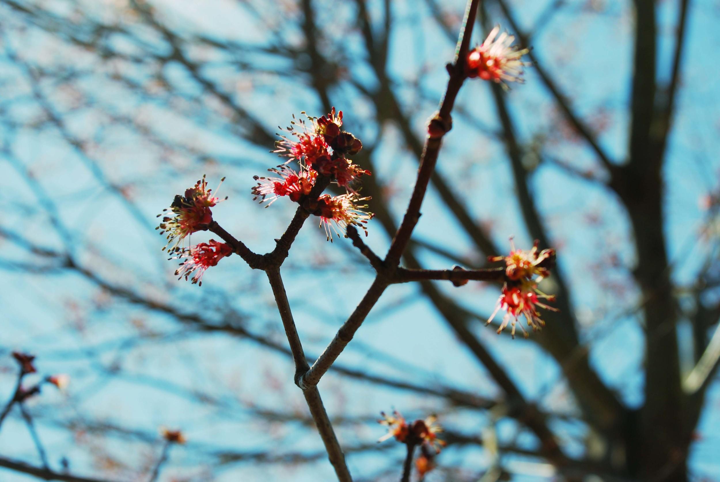 maple bud via Nest