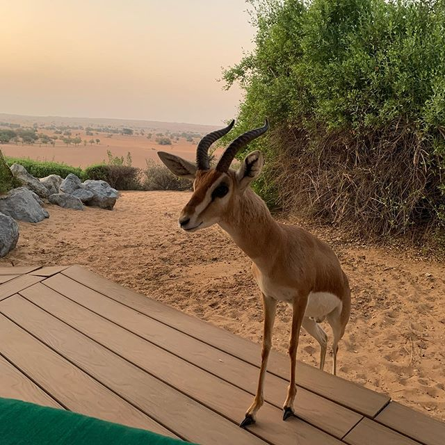 Just a casual sunrise with our new gazelle friend.