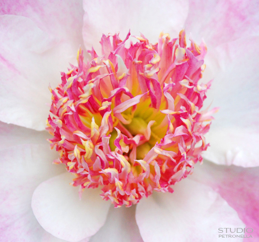 %22pink flame%22 © heather rhodes studio petronella all rights reserved neweb.jpg