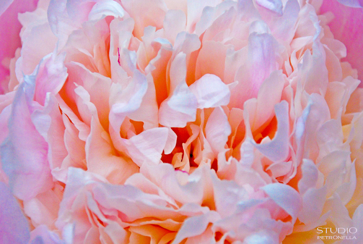 %22tender petals%22 © heather rhodes studio petronella all rights reserved neweb.jpg