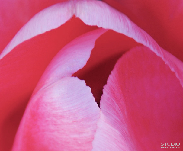 %22tulip 2%22 © heather rhodes studio petronella all rights reserved neweb.jpg