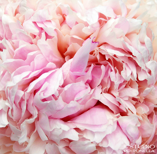 %22peony petal profusion%22 © 2014 heather rhodes studio petronella all rights reserved no reproduction.jpg