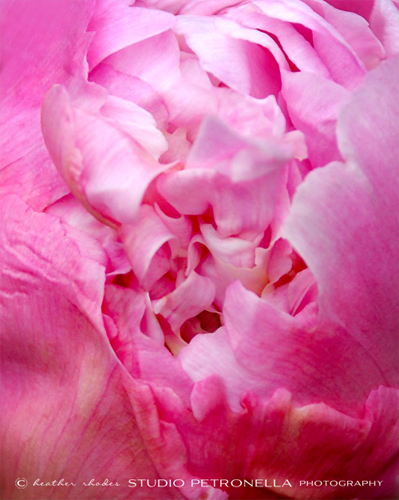 %22peony penetration%22 2 © 2014 heather rhodes studio petronella all rights reserved.jpg