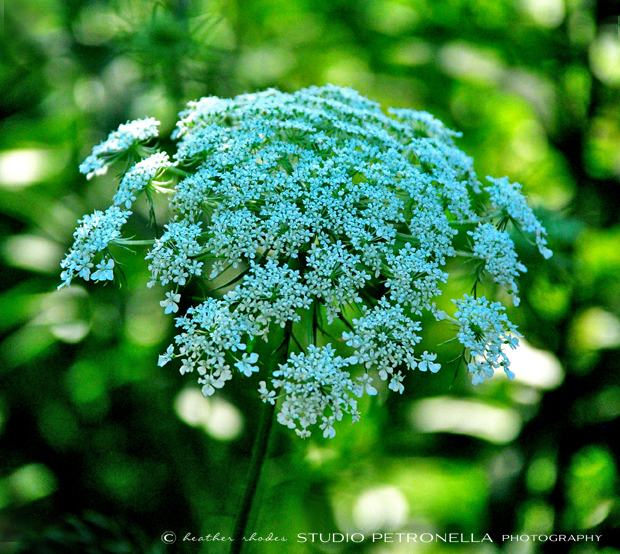 %22queen anne lace%22 3 © heather rhodes studio petronella all rights reserved ©.jpg