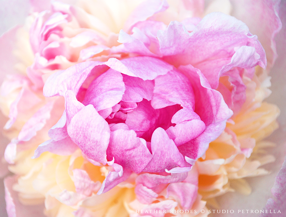 peony 3 summer 2015 © heather rhodes studio petronella all rights reserved.png