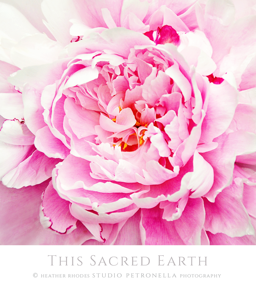 peony 4 2019 june is here © heather rhodes studio petronella all rights reserved.png