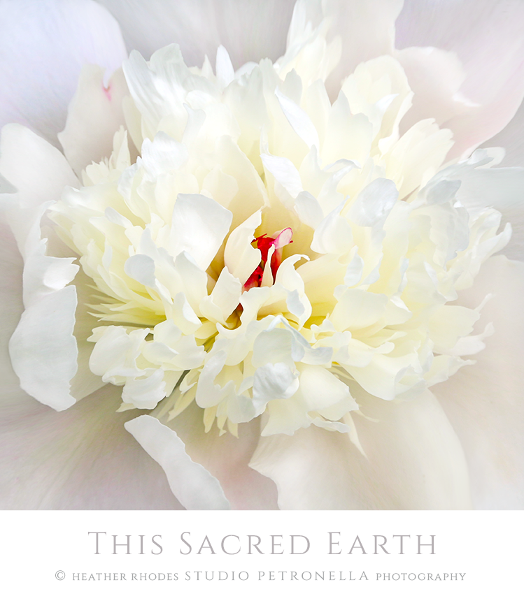 peony 1 2019 this saced earth © heather rhodes studio petronella all rights reserved .png