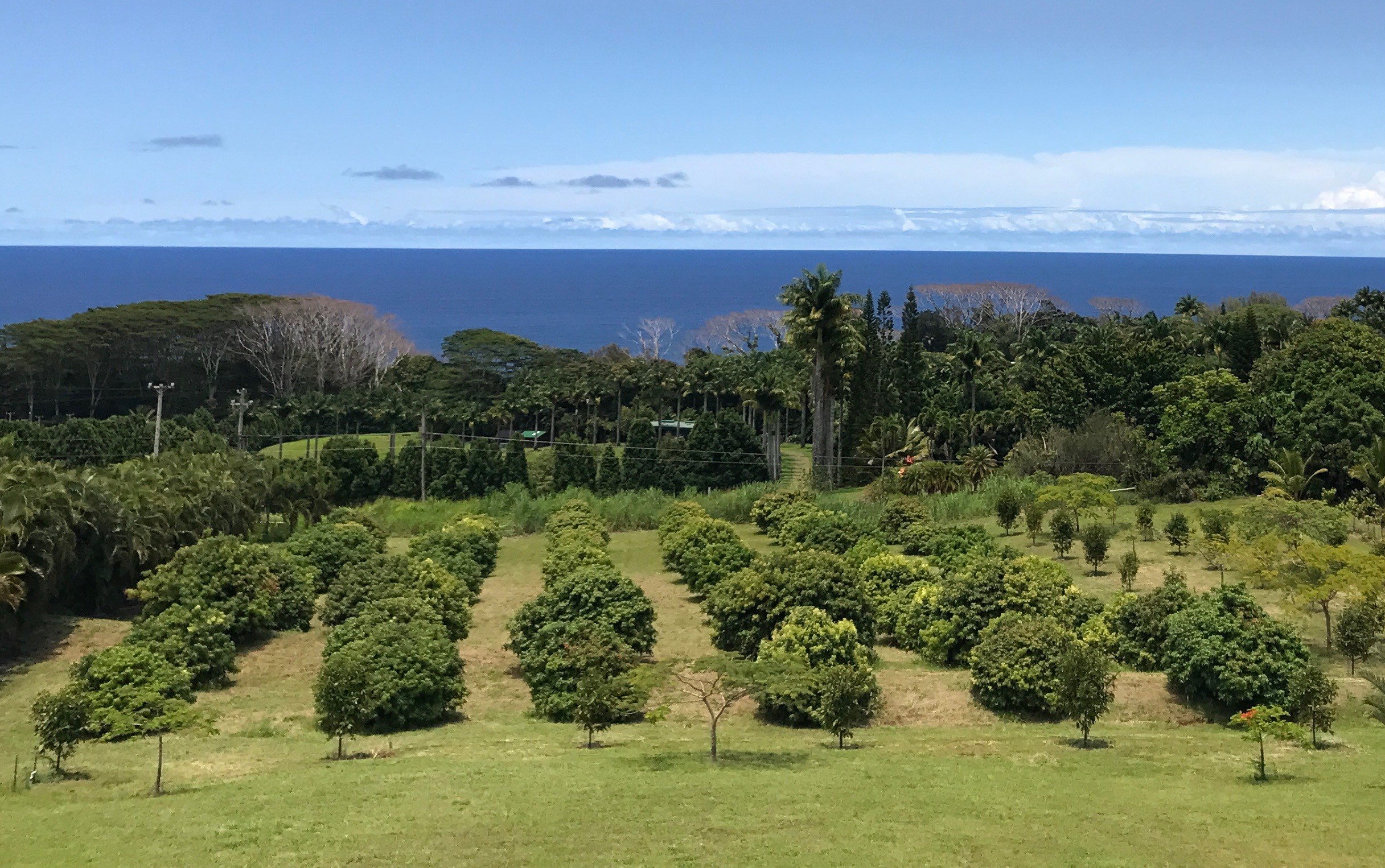 Our thriving lychee orchard overlooking the Pacific Ocean