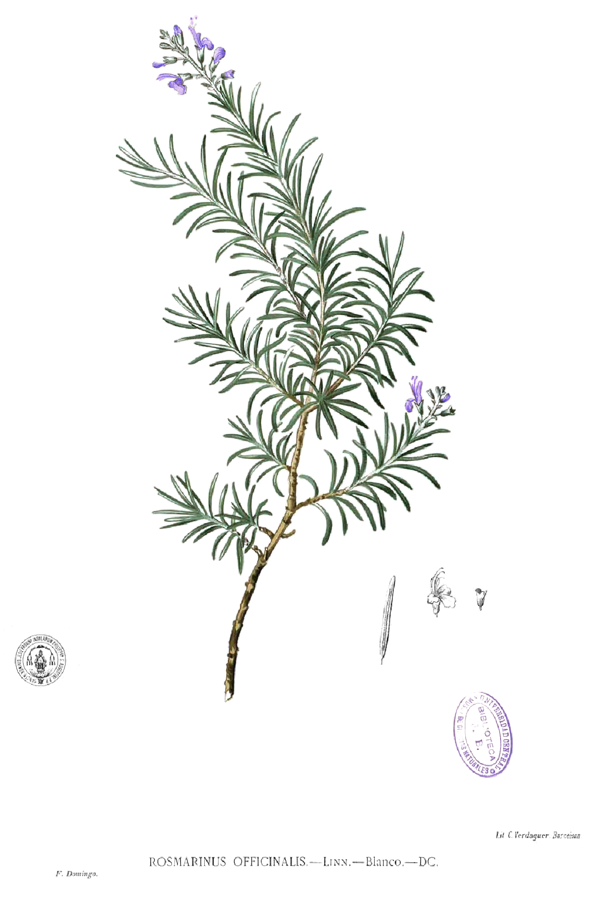 Rosmarinus officinalis,  Flora de Filipinas  1880