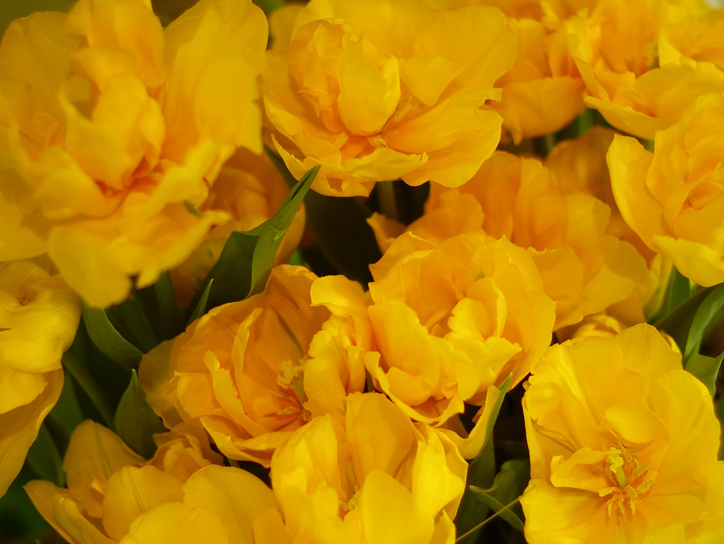 lotsoyellowtulips.jpg