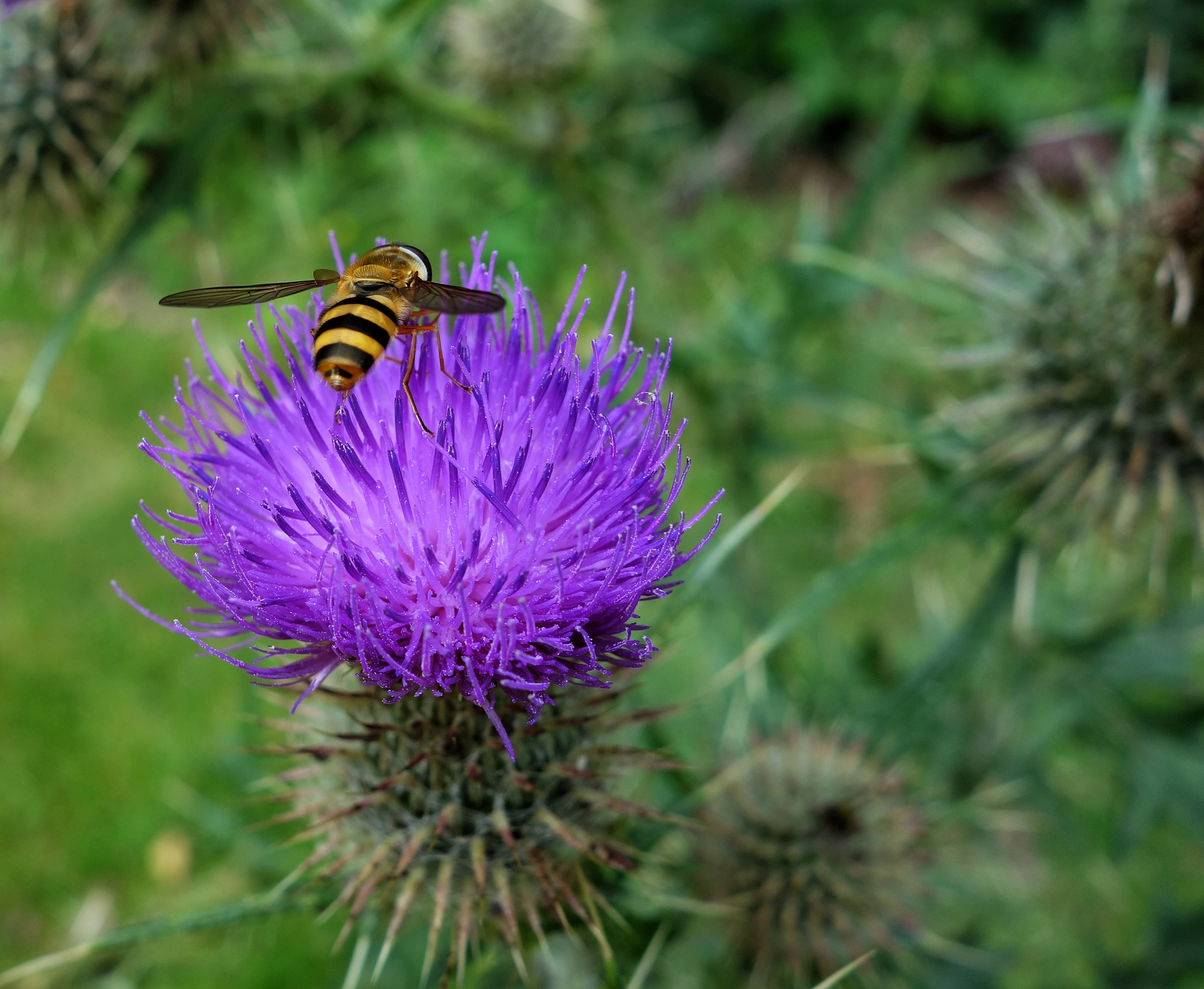 Mayflythistle.jpg