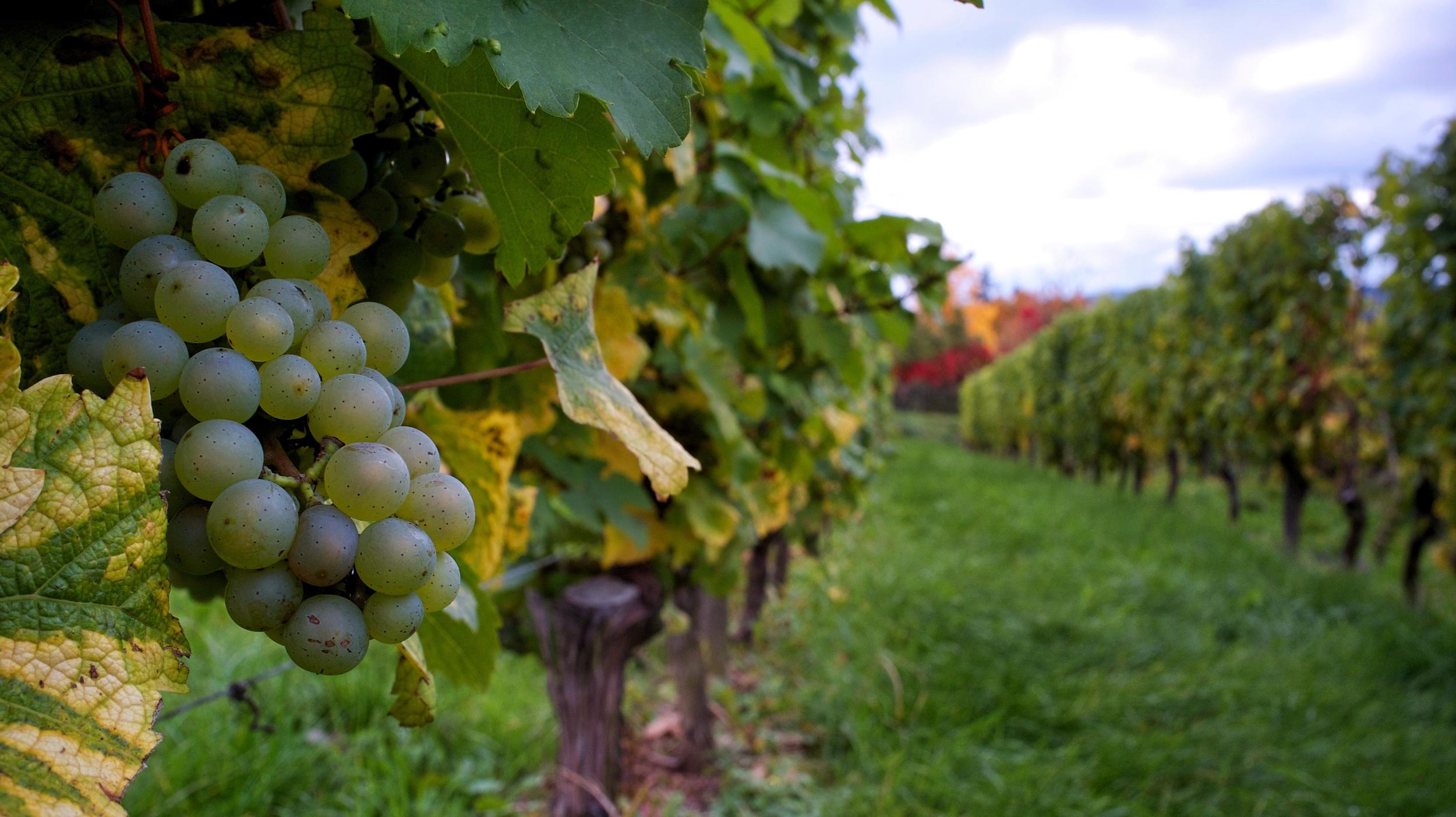 Johannisberg's vines