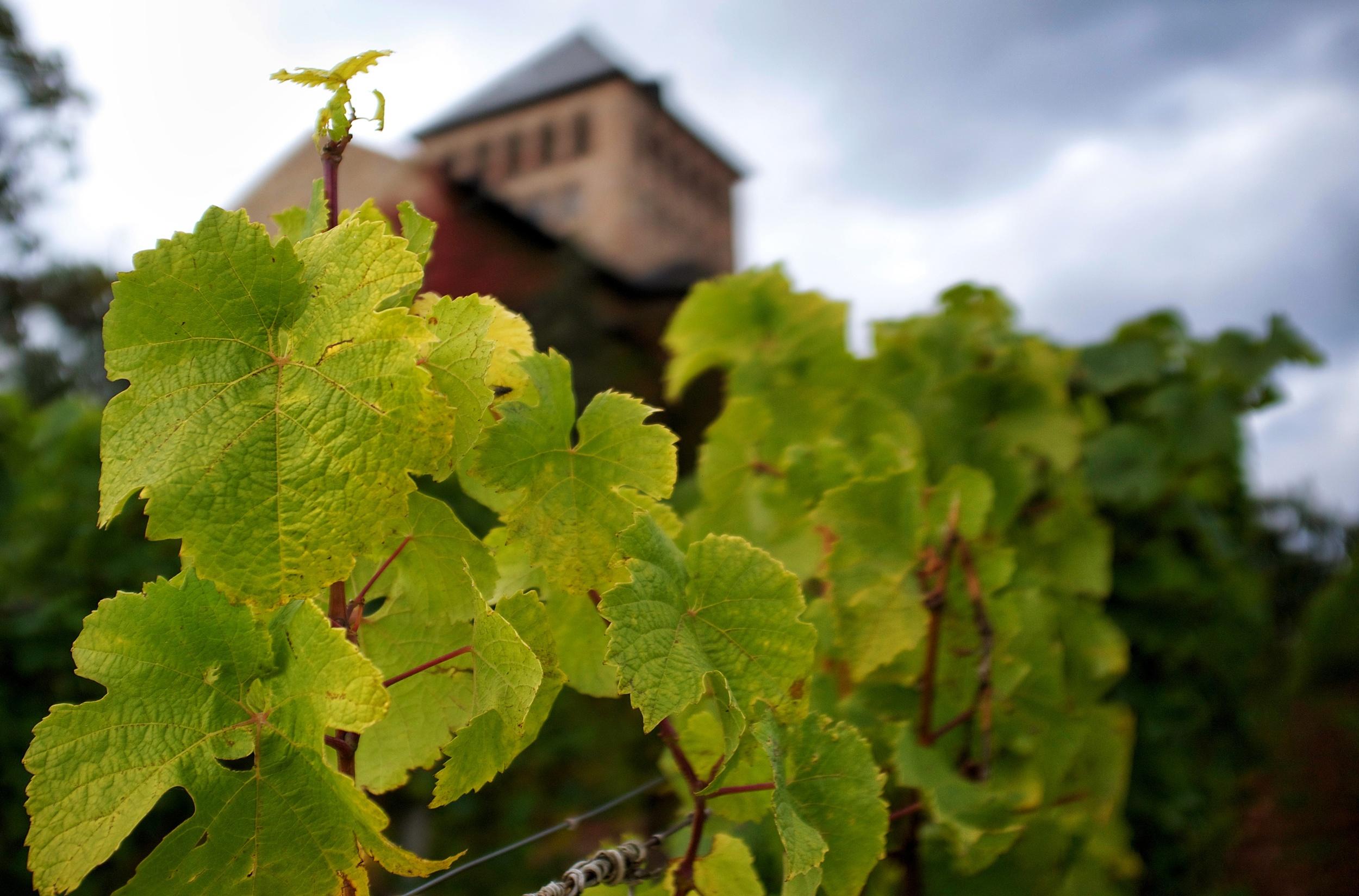 The Basilika and vines