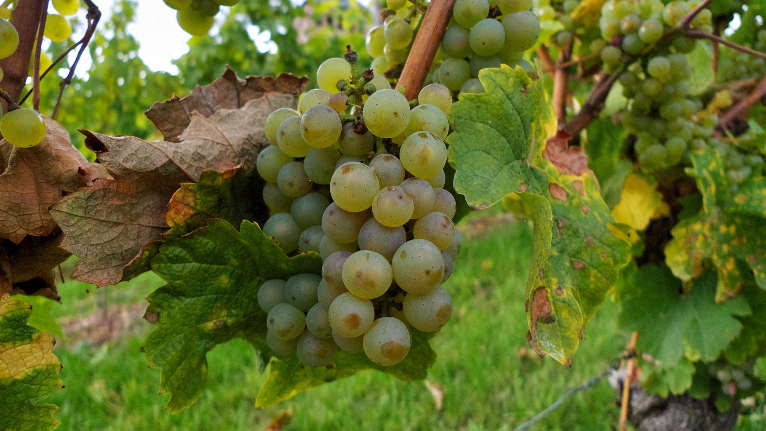 More Johannisberg wine