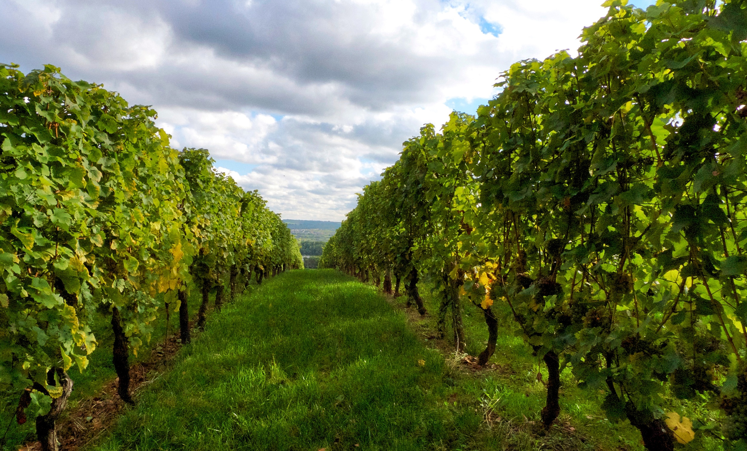 Riesling Avenues to the Rhine