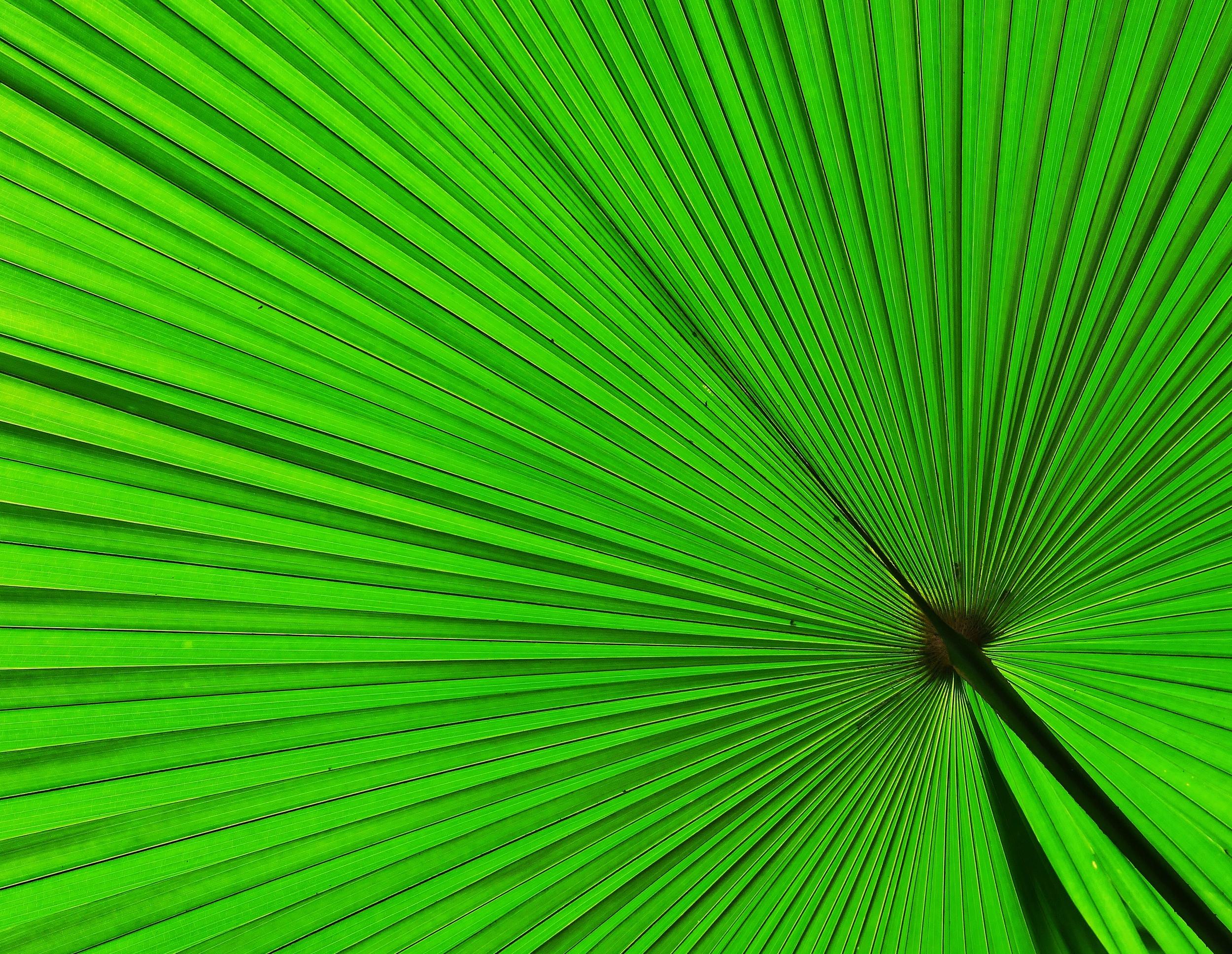 Palmate Palm Frond