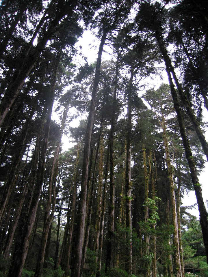 Cyprus trees in Costa Rica
