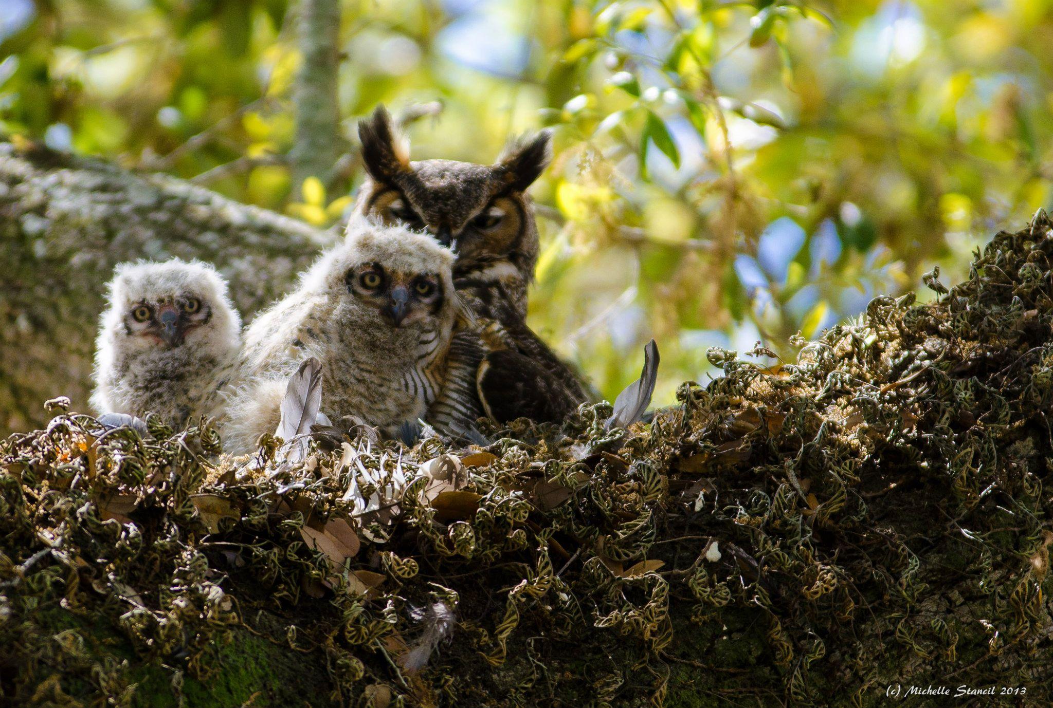 Owls April 2013.jpg
