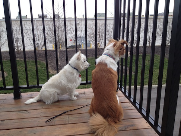 Frankie and Tuney checking out the action on the porch.