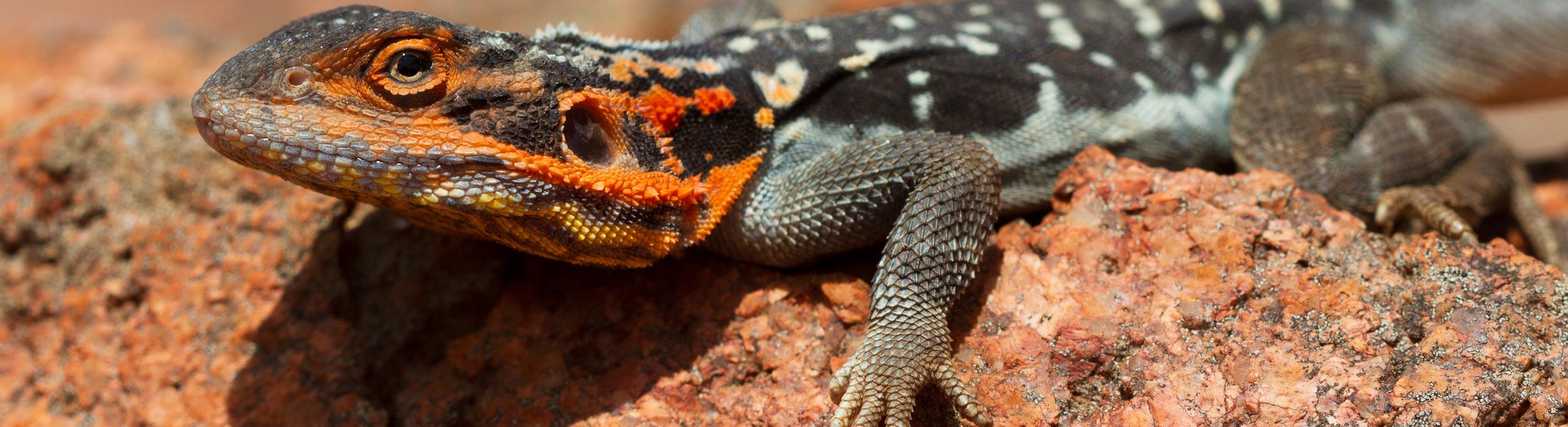 A male peninsula dragon,  Ctenophorus fionni . Kokatha Station, South Australia, 2012. Photo by Angus Kennedy.