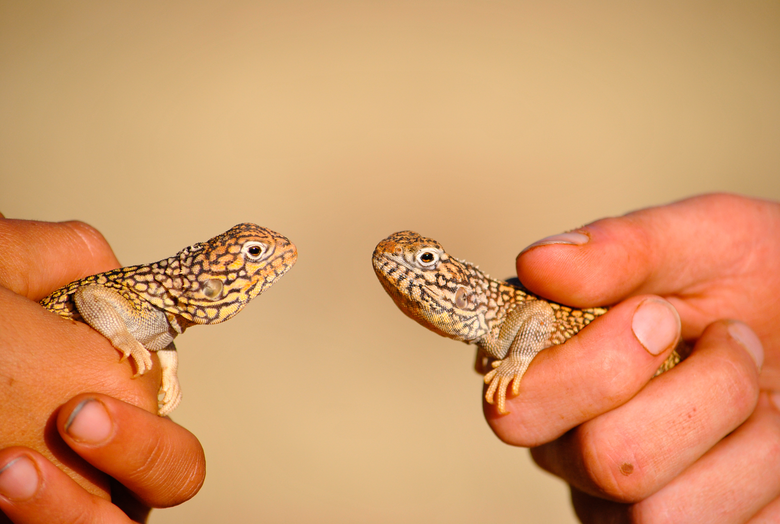 Adorable Central Netted Dragons ( Ctenophorus nuchalis ). Henbury Station, Northern Territory, 2012.