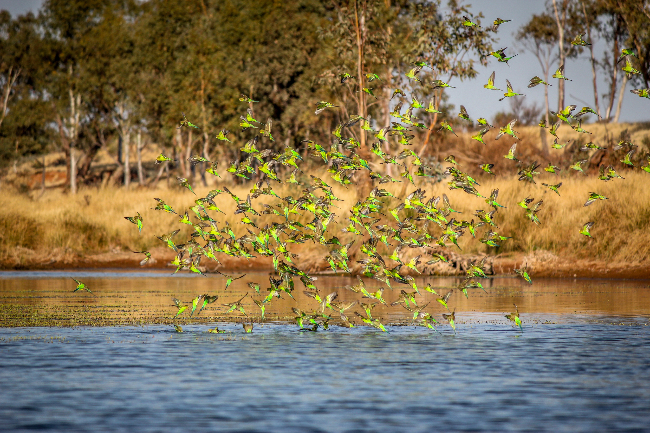 The budgies drank by just dropping into the water! Photo by Rebecca Sullivan.